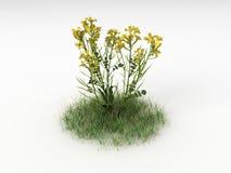 Brassica napus Zdjęcie Stock