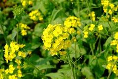 Brassica napus Royalty-vrije Stock Afbeeldingen