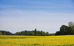 Brassica napus Field. Beautiful rape field with blue skye and green forrest´s Stock Image