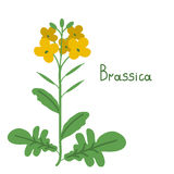 Brassica napus illustration Royalty Free Stock Images