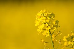Brassica napus. Or rapeseed blooming in summer, rapefield in the background royalty free stock photo