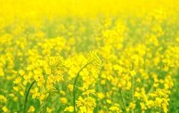 Brassica napus. Stock Image