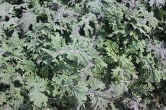 Brassica napus var pabularia, Czerwony Rosyjski kale cultivar KTK-64 Fotografia Royalty Free