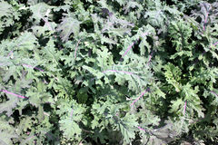 Brassica napus var. pabularia, Red Russian kale cultivar KTK-64 Royalty Free Stock Image