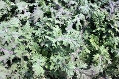 Brassica napus var pabularia, Rode Russische boerenkoolcultivar ktk-64 Royalty-vrije Stock Afbeelding