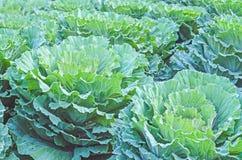 Brassica Oleracea Fotografering för Bildbyråer