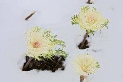 Brassica oleracea Stock Afbeelding