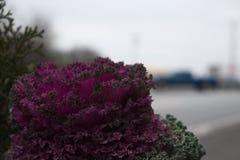 Brassica Oleracea Imagens de Stock