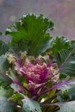 Brassica oleracea, acephala, de Herfst sierboerenkool, purpere koolinstallatie op lichte achtergrond Stock Foto's