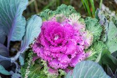 Brassica oleracea or acephala. Ornamental kale. Flowering decorative purple-pink cabbage plant and the first snow with Royalty Free Stock Images