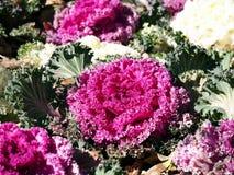 Brassica oleracea Stock Photography