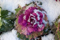Flowering Kale, Ornamental Cabbage in snow. Brassica oleracea, flowering kale or the purple ornamental cabbage. Here, in Iceland, in a city planter, under a Stock Images