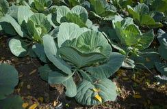 Brassica oleracea Royalty Free Stock Image