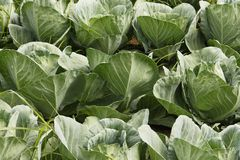 Cabage waiting for crop. The Brassica oleracea, known as cabbage, is among the most diffuse vegetables in the world, due to its resistance and adaptability Royalty Free Stock Image
