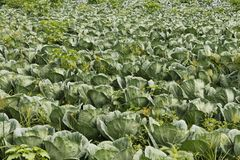 Cabage waiting for crop. The Brassica oleracea, known as cabbage, is among the most diffuse vegetables in the world, due to its resistance and adaptability Stock Photos