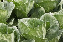 Cabage waiting for crop. The Brassica oleracea, known as cabbage, is among the most diffuse vegetables in the world, due to its resistance and adaptability Royalty Free Stock Photo