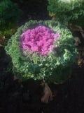 Brassica oleracea L Brassicaceae Immagine Stock Libera da Diritti