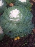 Brassica oleracea L. Brassicaceae Stock Photo