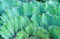 Brassica oleracea. Leaf green of Brassica oleracea Stock Photos