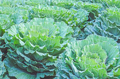 Brassica oleracea. Leaf green of Brassica oleracea Stock Image
