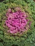 Brassica oleracea Royalty Free Stock Photo