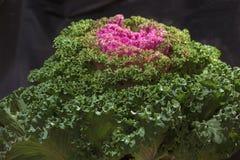 Brassica oleracea Royalty Free Stock Photography