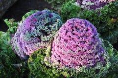 Brassica oleracea Linn. Photographie stock libre de droits