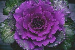 Brassica oleracea. Ornamental purple beautiful cabbage with dew drops royalty free stock photos
