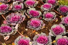 Brassica Oleracea Ornamental Cabbage Royalty Free Stock Photos