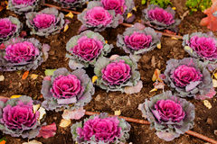 Brassica Oleracea Ornamental Cabbage Stock Images