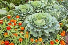 Brassica oleracea, ornamental cabbage Royalty Free Stock Image