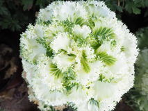Brassica Oleracea Ornamental-Kohl Stockfotos