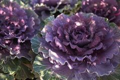Brassica oleracea plants. Ornamental kale with purple and green leaves Royalty Free Stock Image