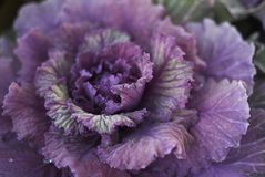 Brassica oleracea plants. Ornamental kale with purple and green leaves Stock Photo