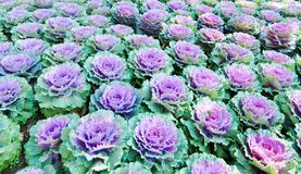 Brassica oleracea var.acephala in a garden plantation in northern Thailand. Cauliflower in a garden plantation in northern Thailand Stock Photo