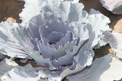 Brassica oleracea var capitata, Red cabbage Royalty Free Stock Photography