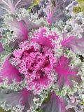 Brassica Oleracea, Zierpflanze im Grün mit Purpur Lizenzfreies Stockbild