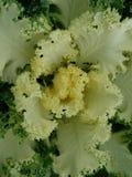 Brassica Oleracea, Zierpflanze im Grün mit Weiß Lizenzfreies Stockbild