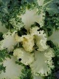 Brassica Oleracea, Zierpflanze im Grün mit Weiß Stockfoto