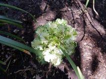 Brassica Oleracea, Zierpflanze im Grün mit Weiß Lizenzfreie Stockfotografie