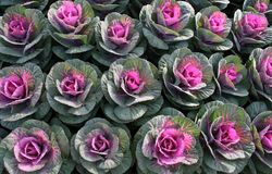 Brassica Ornamental Kale's Stock Photos