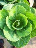 Brassica plant in Mekong Delta, Vietnam Stock Photography