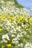 Brassica rapa dell'olio di colza e anthriscus selvaggio del prezzemolo con becco sy Immagini Stock Libere da Diritti