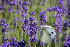 Brassicae blancs de Pieris de Buterfly de chou sur une fleur de lavande photos libres de droits