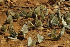 Brassicae de Pieris de guindineau Photographie stock libre de droits