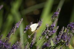 Brassicae de Pieris sur le Lavandula Image stock