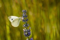 Brassicae do Pieris, o grande branco, igualmente chamados borboleta de couve Fotos de Stock