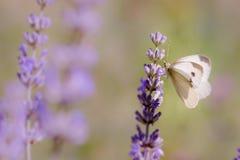 Brassicae do Pieris, o grande branco, igualmente chamados borboleta de couve Fotografia de Stock Royalty Free