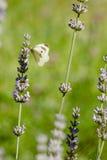Brassicae do Pieris, o grande branco, igualmente chamados borboleta de couve Fotos de Stock Royalty Free