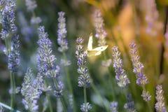 Brassicae do Pieris, o grande branco, igualmente chamados borboleta de couve Foto de Stock